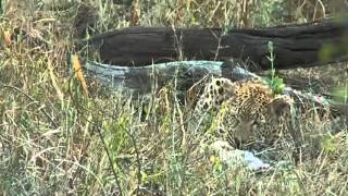 Download Injured Leopard Mvula Scrubs Up for Breakfast May 25, 2015 Video