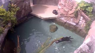 Download LIVE: Seattle Aquarium sea otter cam 1 Video