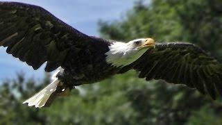 Download Bald Eagle Slow Motion Flying Display & Close Up - Birds of Prey Video