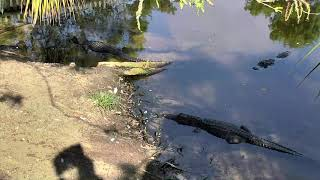 Download Alligator Swamp and Spoonbills Cam 09-16-2018 06:53:54 - 07:53:55 Video