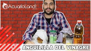 Download Alimento vivo - Anguililla del vinagre || ACUARIOLAND Video