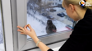 Download Crow Really Wants Something Inside | The Dodo Video