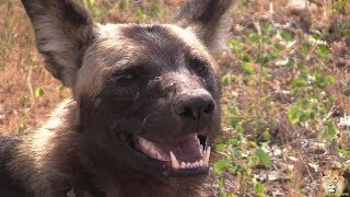 Download African Wild Dog Up Close. Beautiful Video