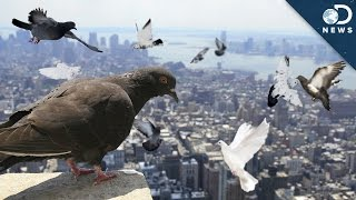 Download Why Are There So Many Pigeons? Video