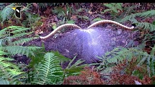 Download The Fanciest Bird in the World: Superb Lyrebird Video