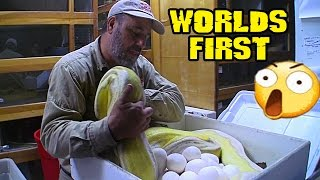 Download Reticulated python lays Worlds First Genes Video