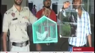 Download Spy pigeon jailed in India Bird accused of working for Pakistani intelligence is placed Video