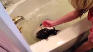 Download Pangles gets a bath. Watch out! Not a happy Skunk! Video