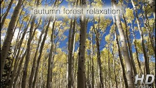 Download ″Autumn Forest Relaxation″ Healing HD Nature Video Blustery Fall Day in an Aspen Meadow Video
