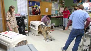 Download IFAW Alaska Wolf-Dog Rescue Video