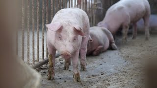 Download Pork farmers in China hit hard by swine fever Video