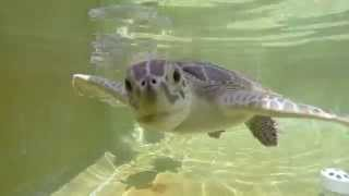 Download Cute Baby Sea Turtles trying to eat my GoPro Video