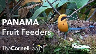 Download Panama Fruit Feeder Cam at Canopy Lodge | Cornell Lab Video