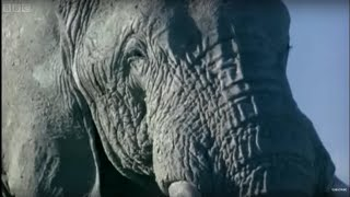 Download Elephant Mating, Fighting, and Pregnancy | Animals: The Inside Story | BBC Earth Video