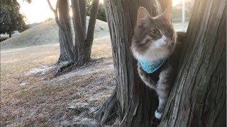 Download 蒼散歩。電車におののく猫 ノルウェージャンフォレストキャットcat who fears the train.Norwegian Forest Cat. Video