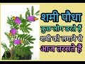 Download Shami ka paudha शमी का पौधा लगाने के लिए आज लोग तरसते हैं कि कैसे लगाएं shami plant Video