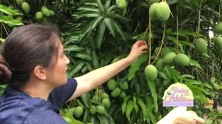Download Cortando Mangos Verdes en El Salvador [Parte #1] Video