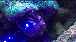 Download Laser away pest anemones (aiptasia & majanos) Video
