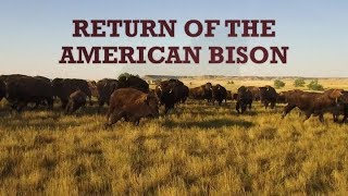 Download Return of the American Bison Video