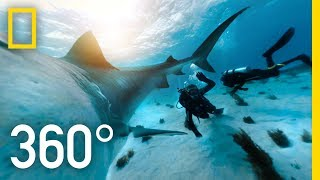 Download 360° Tiger Shark Encounter in the Bahamas | SharkFest Video