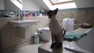 Download Our Siamese Cats at Shower Time Video