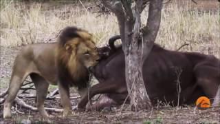 Download León macho, mata a búfalo Video