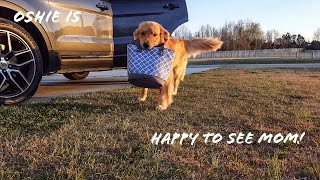 Download Golden Retriever Reacts to Dad Coming Home vs. Mom Video