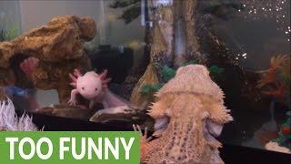Download Lizard bonds with critically endangered salamander Video