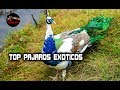 Download AVES EXOTICAS: Pajaros exoticos – Las aves mas bellas del mundo Video