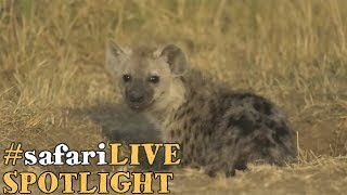 Download safariLIVE puts a spotlight on the spotted hyena! Video