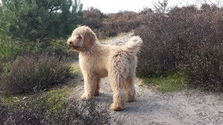 Download Boef our Australian Labradoodle 1-7 months Video