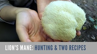 Download Lion's Mane Mushroom: Hunting and Cooking 大朵野生猴菇 Video