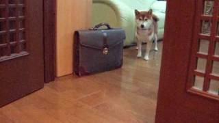 Download お散歩に行きたくない訳を話す柴犬 Shibainu Talking Video
