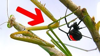 Download Deadly Spider Vs Giant Praying Mantis Part 1 Educational Spider Study Video