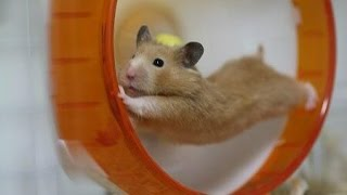 Download Funny hamsters in wheel videos - Funny animals compilation 2016 Video