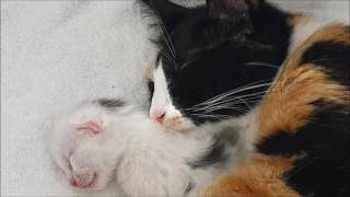 Download Day 10-13 of the lives of Lotje her newborn kittens/ eyes open Video