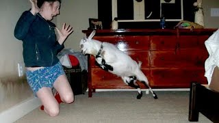 Download I'm 101% SURE that you will LAUGH EXTREMELY HARD! - Funny JUMPING GOATS videos Video