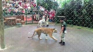 Download awesome tiger show and education taman safari indonesia Video