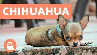 Download 10 Facts about Chihuahuas You Need to Know Video