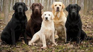 Download Labrador Retriever Facts Video