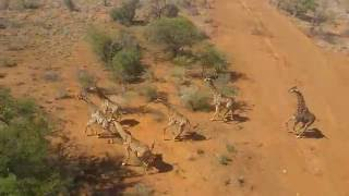 Download Giraffe Chase With Helicopter Video
