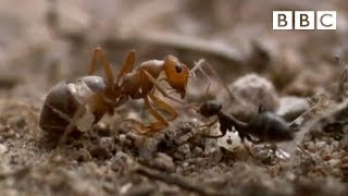 Download Ant colony raids a rival nest - Natural World - Empire of the Desert Ants - BBC Two Video