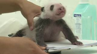 Download Pairi Daiza (Belgium)- Panda cub is one month old! Video