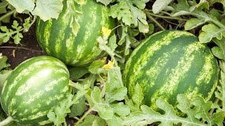 Download How to Grow Watermelons - Complete Growing Guide Video