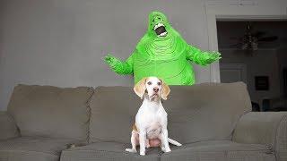 Download Dog Destroys Slimer: Funny Dog Maymo Video