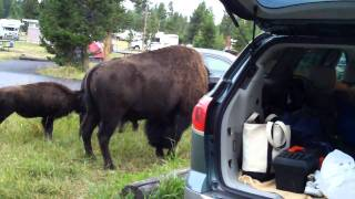 Download Bison in Yellowstone campsite 2 of 2 Video