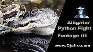 Download Small Alligator vs Big Python 01 Stock Footage Video