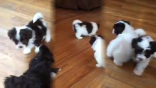 Download Chocolate Havanese Puppies! 6 Weeks Old! :) Video