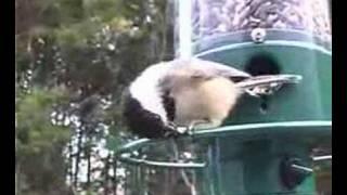 Download Squirrel Spins Off of Bird Feeder Video