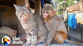 Download This Wild Baby Monkey is Obsessed With Her Cat | The Dodo Wild Hearts Video